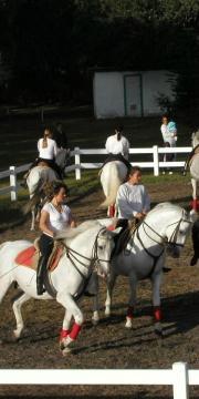 Lippizan Stallions